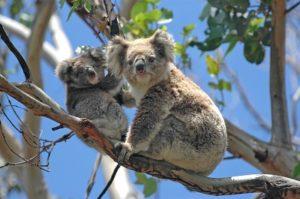 Koalas at Great Ocean Road