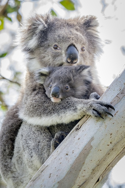 babies of Australian Animals